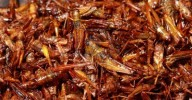 14660783-grasshopper-fried-one-of-insect-food-in-thailand