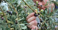 Jason_inspecting_Olives-1125x748