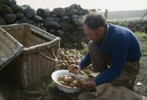 A man sets aside his best potatoes for planting.
