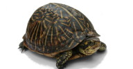 Florida_Box_Turtle_Digon3_re-edited