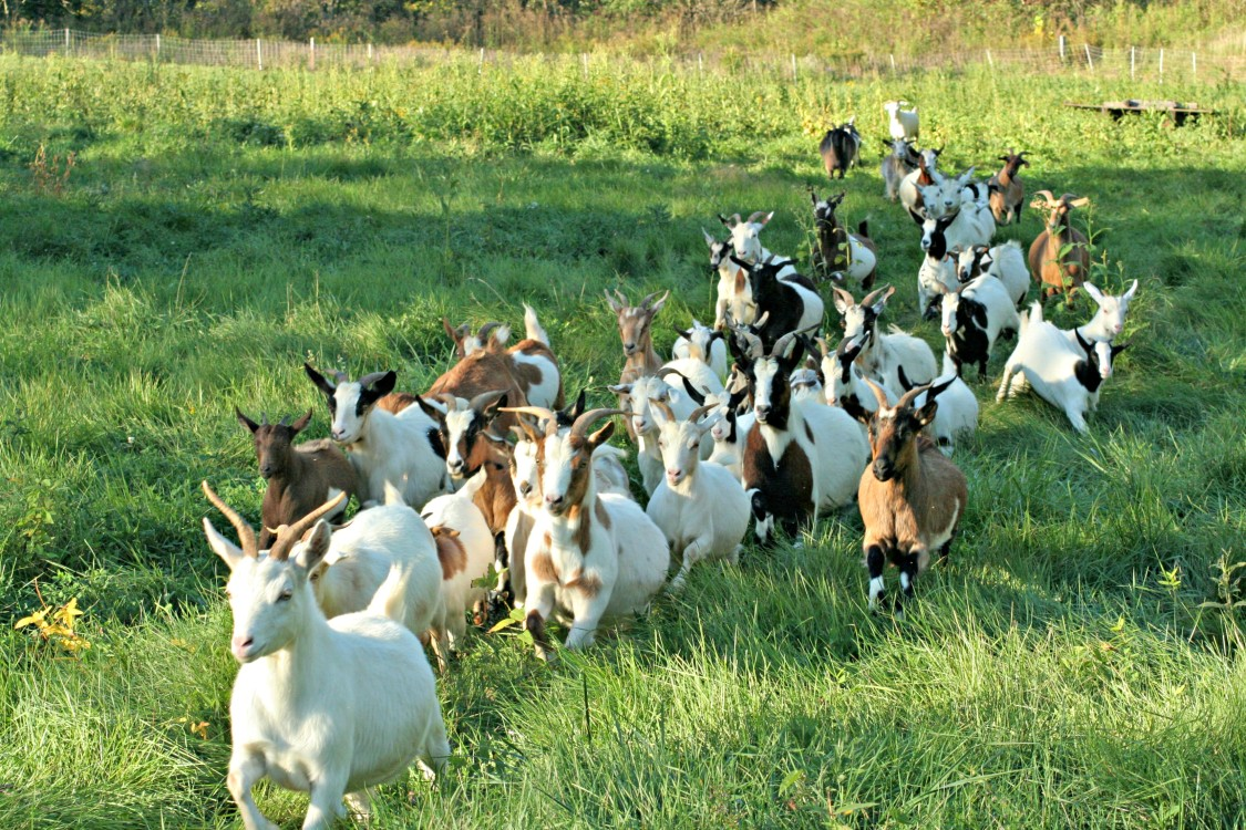 A herd of heritage goats wander through Goatfeathers Point Farm in Cuyahoga Valley National Park.