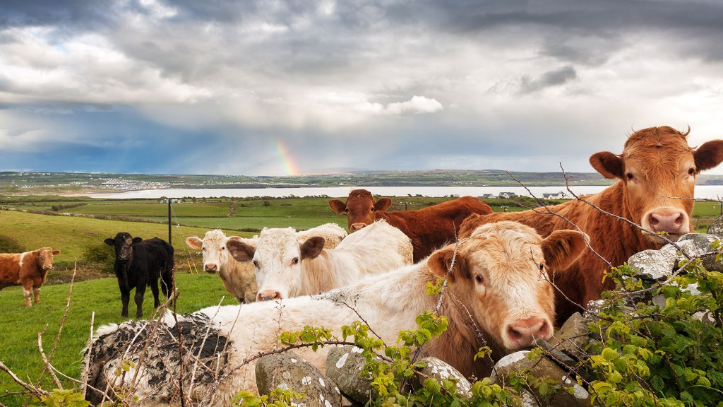 foodnews 7.15.2015 rainbowcattle