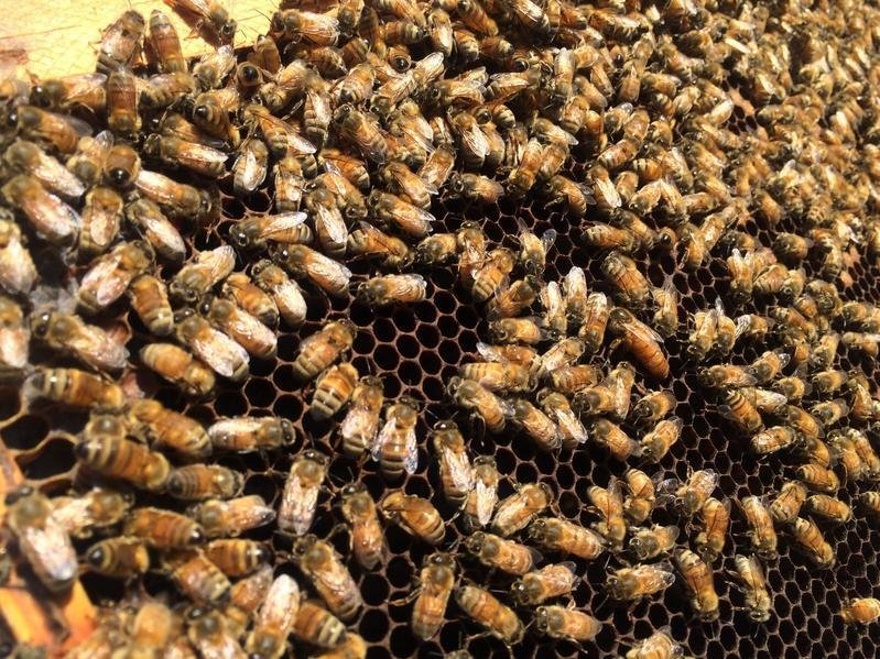 honeybees-1-2f81f5fe99c698a383aebfebea91c34a1a4f8cae-s1600-c85